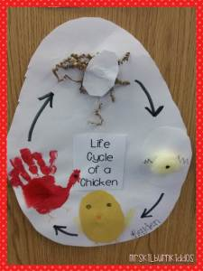 life cycle of a chicken pic
